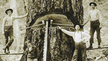 Loggers posing with saws and old-growth tree
